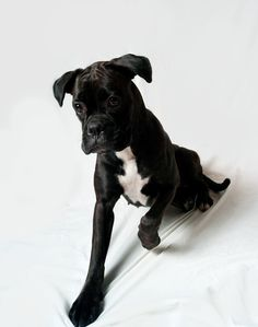 Reverse sealed brindle boxer puppy