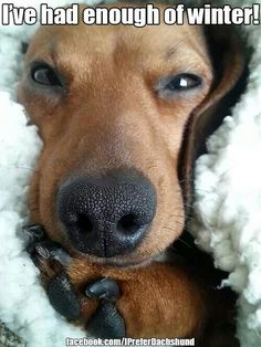 Dachshunds don't like to be chilled or cold! They always want to snuggle and burrow in the blankies!