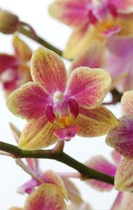 How to care for your Orchid: Phalaenopsis Moth Orchid - After flowering, cut the stalk above the second eye. A new branch develops from the eye, which will eventually flower. If re-flowering isn't successful, put the plant in a colder room (15°-16°C) for the autumn months, which will promote the formation of buds.