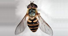 Diptera: One pair of membranous wings,hind wings became halteres, sucking mouthparts and short antennae.