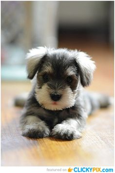 This Mini Schnauzer puppy is so darling, what a beautiful color and such an adorable face! Description from pinterest.com. I searched for this on bing.com/images