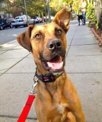 Viking is an adoptable Shepherd Dog in Washington, DC.  Belgian Malinois mix, male, 1-year-old, 45 pounds If you are viewing Viking on Petfinder, please click below for more information! Viking is a b...