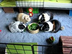 Daily Routine with the Guinea Pigs - YouTube
