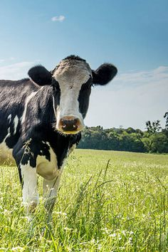 Search from 60 top Holstein, Cow, Face pictures and royalty-free images from iStock. Find high-quality stock photos that you won't find anywhere else. Cow Wallpaper, Animal Wallpaper, Kawaii Wallpaper, Cow Photos, Cow Pictures, Farm Animals, Cute Animals, Suffolk Sheep, Holstein Cows