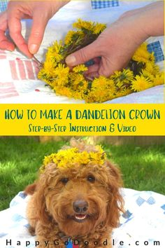 Are you looking for things you can do outside? Try making a dandelion crown! A dandelion crown is an easy DIY craft, take minutes to do, and is something that you can do with your dog by your side! Here's your step-by-step instruction and video tutorial. #dandelioncrown #diycrown #diyflowercrown #dandelions #happygodoodle Diy Flower Crown, Diy Crown, Eating Dandelions, Princess Party Favors, Silly Pictures, Donna Dewberry, Animal Projects, Easy Diy Crafts, Diy Stuffed Animals