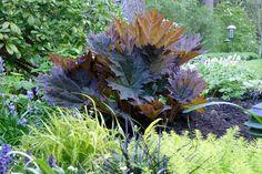 Rheum palmatum rubrum