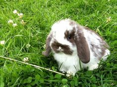 Cute Mini Lop. The name can be quite confusing, because of their size they don't grow up to be Mini at all!