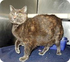 Pictures of Sarah a Domestic Shorthair for adoption in Newport, NC who needs a…