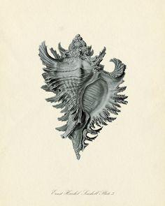 Vintage Ernst Haeckel Seashell Series Blue Tint Plate 3 Natural History Art Print