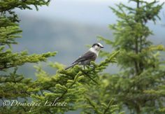 Photographie de Dominique Lalonde : Mésangeai du Canada (Perisoreus canadensis) dans le parc national du Mont-Tremblant, dans les Laurentides (Québec) #ornithologie #oiseaux #nature #canada