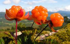 Cloudberry Plant Rubus chamaemorus, though not the same as the berry now called 'mulberry,' is a rhizomatous herb native to alpine and arctic tundra and boreal forest, producing amber-colored edible fruit similar to the raspberry or blackberry. Lappland, Acerola, Umea, Norwegian Food, Scandinavian Food, Swedish Recipes, Exotic Flowers, White Flowers, Horticulture