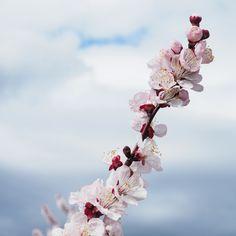 Mars. Branche d'abricotier en pleine floraison sur les hauteurs de Tain l'Hermitage dans la Drôme.