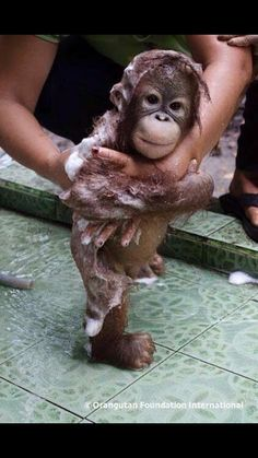 In case you are having a bad day, here is a baby Orangutan getting a bath. You& welcome In case you are having a bad day, here is a baby Orangutan getting a bath. Cute Creatures, Beautiful Creatures, Animals Beautiful, Cute Funny Animals, Cute Baby Animals, Animals And Pets, Wild Animals, Baby Orangutan, Cute Monkey