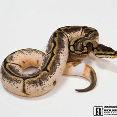 Omg idk the combo. But one of most insane Ball Python Morphs ice scene.   Produced by Roussis Reptile