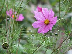 Cosmea or Cosmos; flower meaning 'peaceful'
