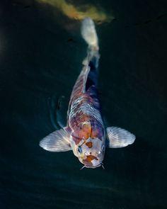 Coy Fish, Koi Fish Pond, Fish Ponds, Koi Art, Fish Art, Betta, Koi Painting, Golden Fish, Beautiful Fish