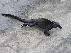 Zeeleguaan, Galapagos.