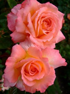 Good morning Beautiful Rose Flowers, Pretty Roses, Love Rose, Good Morning Beautiful Flowers, Orange Roses, Pink Roses, Types Of Roses, Botanical Flowers, Rose Bouquet