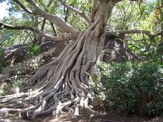 Beautiful old tree at Mabula, Mpumalanga in South Africa.