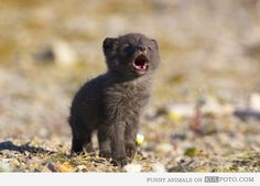 Wolf puppy howling
