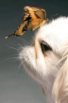 Butterfly kisses. Shih Tzu