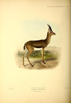 Gazella arabica (+)