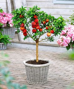 Leprechaun Dwarf Nectarine Tree Backyard Ideas Pinterest Yellow Fruit Delicious And