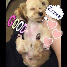 私はイチになりたい。 何処でもどんな体勢でも寝れる図太い神経の持ち主。 主人の足の上でもヒックリ返って寝てる。 イチと居ると何でもできそうな気がする! * * #イタズラ#ストーカー犬#パピー#子犬#ミックス犬#マルチーズ#ヨーキー#マルキー#フォーン#6ヶ月#子犬#犬#愛犬#赤ちゃん#ストック#写真#寝姿#寝てる#爆睡#dog#mix#maltese #Yorkshireterrier#mischievous#6month#Summer#cut
