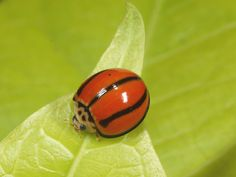 Cheilomenes propinqua - Striped ladybeetle So Unique! Cool Insects, Bugs And Insects, Beautiful Bugs, Beautiful Butterflies, She's A Lady, Lady In Red, Cool Bugs, Beetle Bug, Lucky Ladies