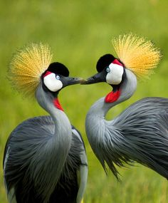 Two Grey Crowned Cranes steal a kiss in Kenya. Photograph by Julia Gordonova