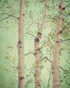 177 best birch trees