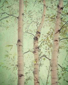 Forest for the trees - Fine art photograph - A birch forest $30.00USD    love this ... for the color palette + the birch trees. reminds me of our yard in New England (it had wetlands filled with birch trees)