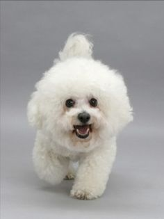 Google Image Result for http://www.best-dog-photos.com/images/Non-Sporting-Group-Bichon_Bichon-Frise-Breed.jpg