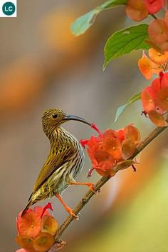 Streaked Spiderhunter (Arachnothera magna) tropical Southeast Asia, Malaysia and Thailand