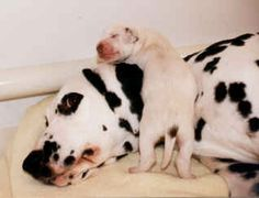 dalmatians being born | The puppy on the left has a tail patch. The pup on the right has an ..