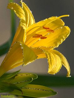 gif פרחי יופי יפים אנימצית GIF אנימצית אנימציה ניידת שושן לנייד עבור анимация נייד