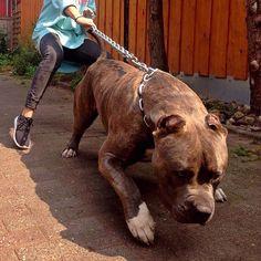 """Babaline's Assad 160lbs/73kg !! Bone Monster!! Make sure to Follow ❗️ ❗️ ❗️ @babaline_xxl_pitbulls_bullys @babaline_xxl_pitbulls_bullys #beautiful #beast…"""