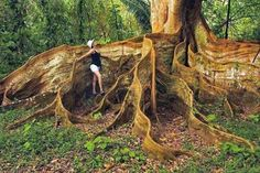 A tree with incredible roots In Costa Rica
