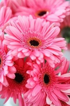 Perfectly pink & cheery daisies