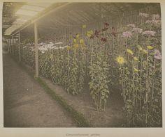 Chrysanthemum Garden; Kazumasa Ogawa (Japanese, 1860 - 1929); Yokohama, Japan; 1896; Hand-colored collotype; 22.9 x 27.8 cm (9 x 10 15/16 in.); 84.XB.759.6.31
