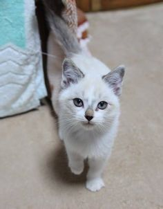 Image Chat Mignon les 1317 meilleures images du tableau chats mignons / cats sur
