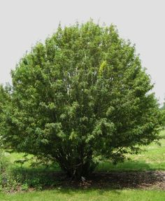 http://3.bp.blogspot.com/_n8taDnf63bU/TGnlD05Uh1I/AAAAAAAAPBk/oj220FLvnRk/s1600/Caragana+arborescens.JPG  Siberian pea tree - hummingbird tree for east coast and central North America