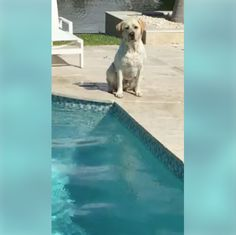 """This video was sent to us by a Florida dog lover and fan of THE NEW BARKER dog magazine. Meet Chief, a Labrador Retriever. He loves diving into his swimming pool to retrieve a toy. Annemarie, Chief's human, said that a year spent with full time training is worth the 13+ years of peace, love and obedience with her dogs. Chief is her fourth Labrador. Annemarie told us: """"I spend the first 12 months giving nothing for free, doing everything on command to train the dog's brain to go into action…"""