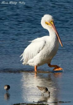 American White Pelican can be seen on Florida's Adventure Coast in the cooler months of the year.