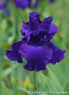 Titan's Glory | Historical Bearded Iris