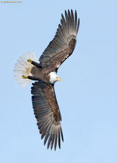 Bald Eagle (Birds of Prey, Eagles) Wildlife Photography, Animal Photography, Eagle Images, Eagle Bird, Golden Eagle, Birds Of Prey, Wild Birds, Paint Designs, Beautiful Birds