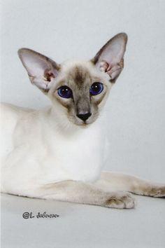 GC, RW Thaifong Tiamo of Alexy  CFA's Best Siamese Kitten  Blue Point Male  Breeder: Virginia Wheeldon  Owner: Dianne & Bruce Alexy / Virginia Wheeldon