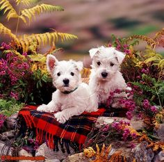 "Westie pups ...Warren Photographic image library ""Our images are available to purchase for commercial use on a rights managed basis. We do not sell images royalty free."""