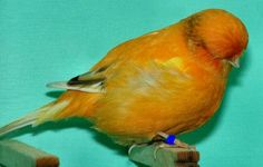 Picture of a Norwich Canary