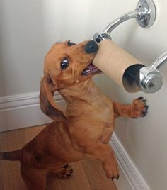 Goose the Dachshund. I had to raise all my toilet roll hangers because of my little Dachshund. :-)